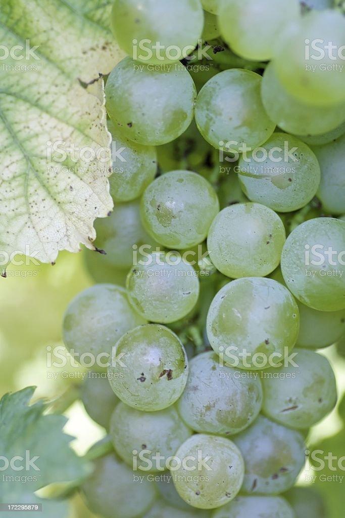 Wine grape detail royalty-free stock photo