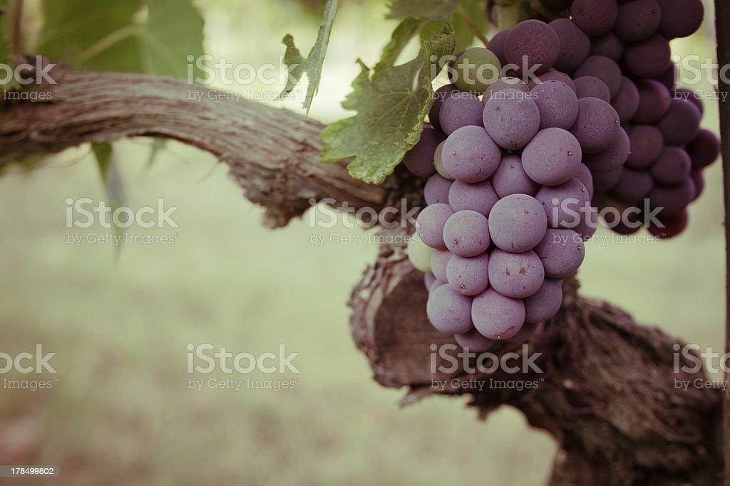와인 포도 덩굴 굴절률은 royalty-free 스톡 사진