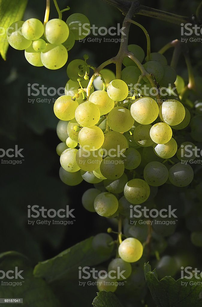 Wine grapes and sunlight stock photo