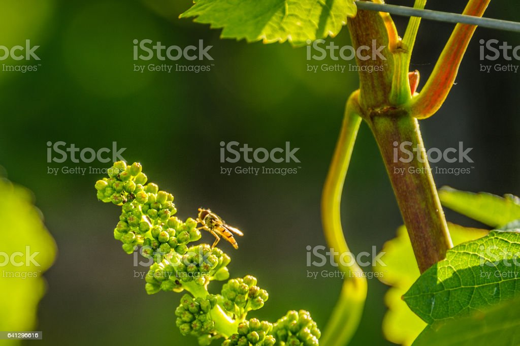 Wine grapes forming stock photo