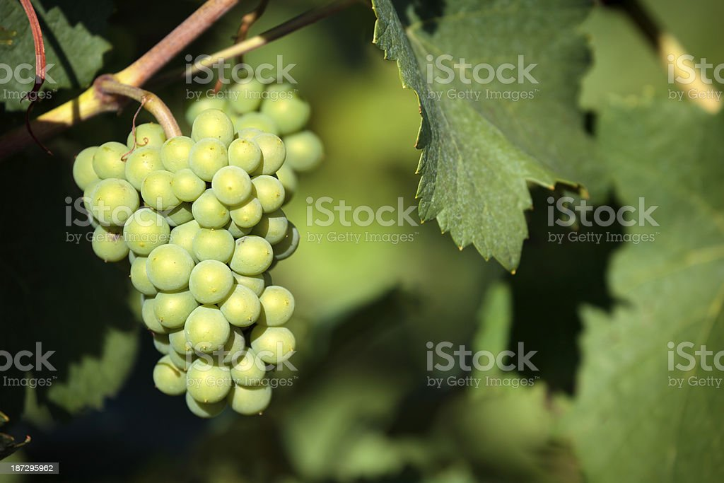 Wine grapes growing in a vineyard. royalty-free stock photo