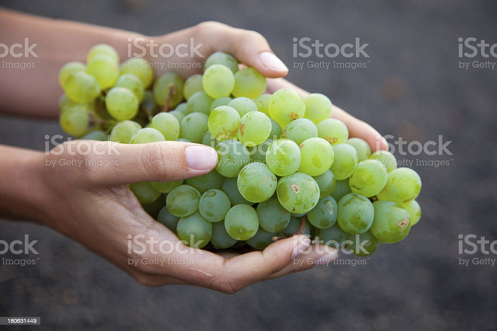 Wine grapes growing on the Canary Islands in Spain royalty-free stock photo