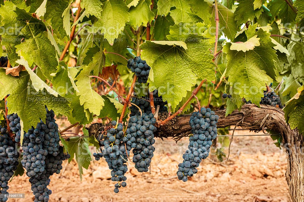 Wine grapes hanging from vine in vineyard stock photo