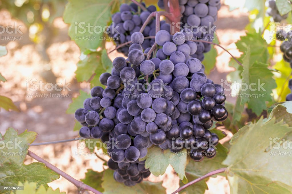 Wine grapes in a vineyard before autumn harvest stock photo