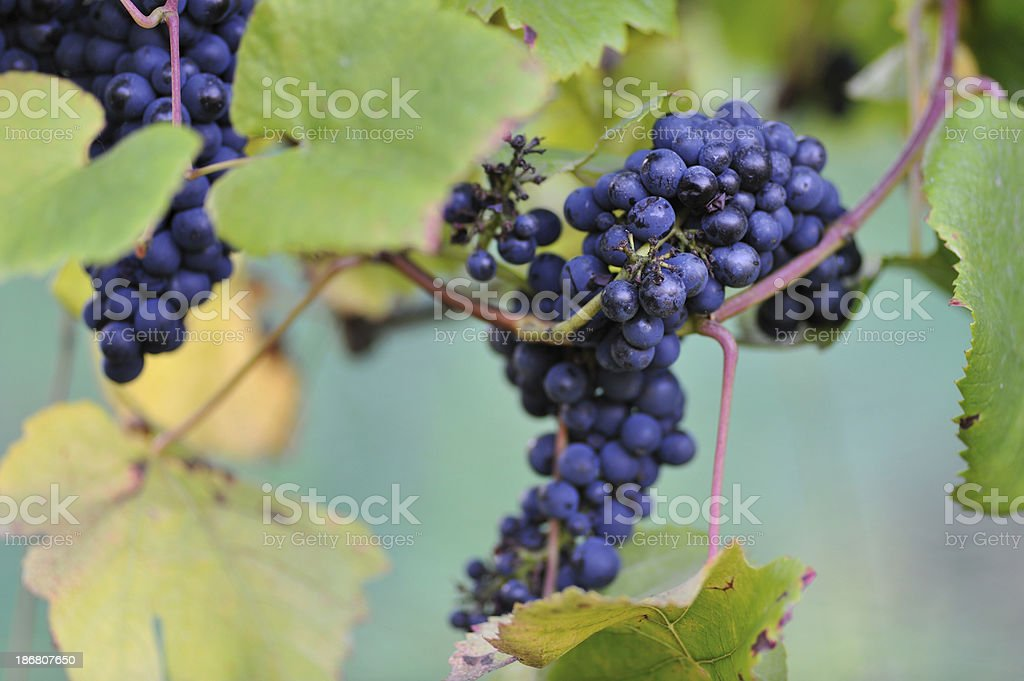 Wine grapes in Tamar Valley stock photo
