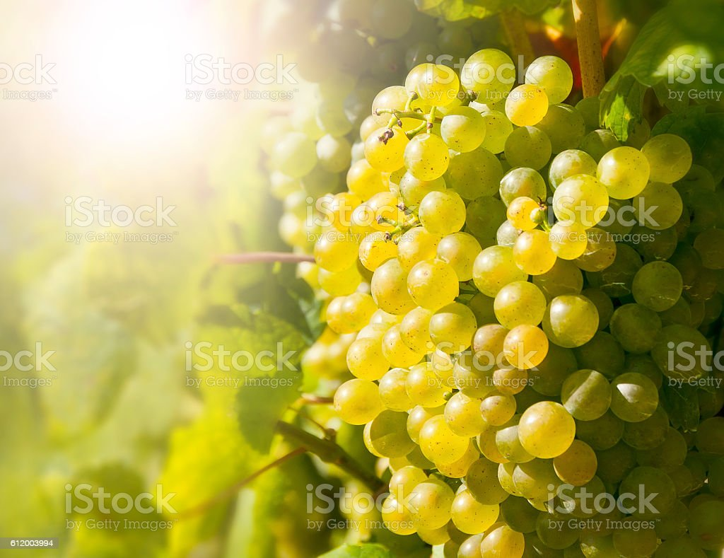 Wine grapes in the famous Wachau (Spitz), Lower Austria stock photo