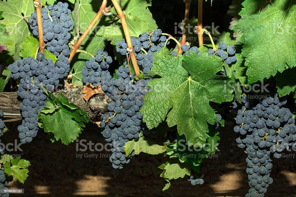 Wine grapes in vineyard, night harvest stock photo