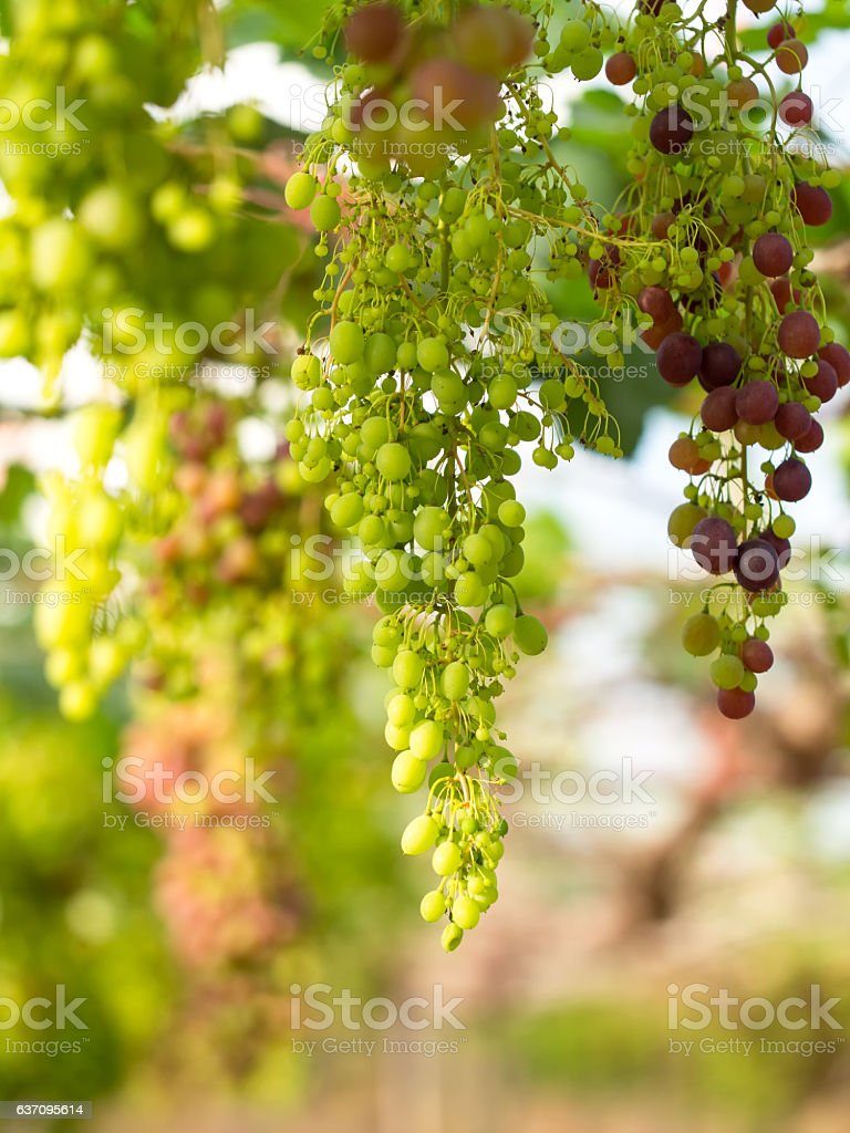 Wine grapes in vineyard on a sunny day stock photo