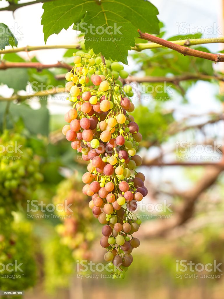 Wine grapes in vineyard on a sunny day, select focus stock photo