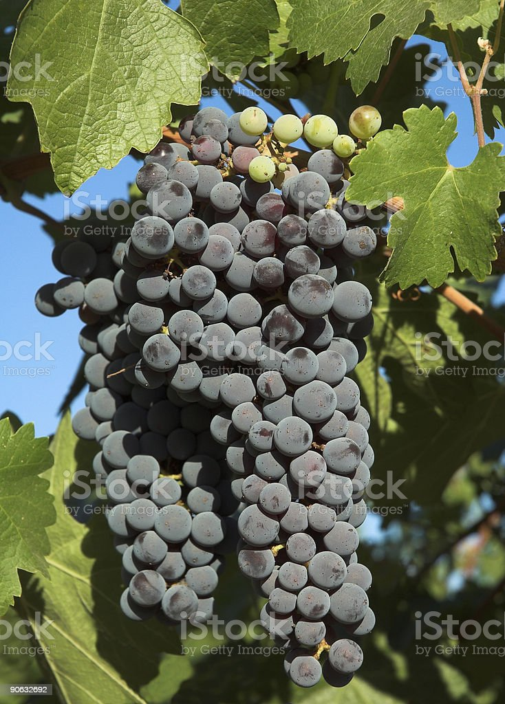 Wine grapes & leaves royalty-free stock photo