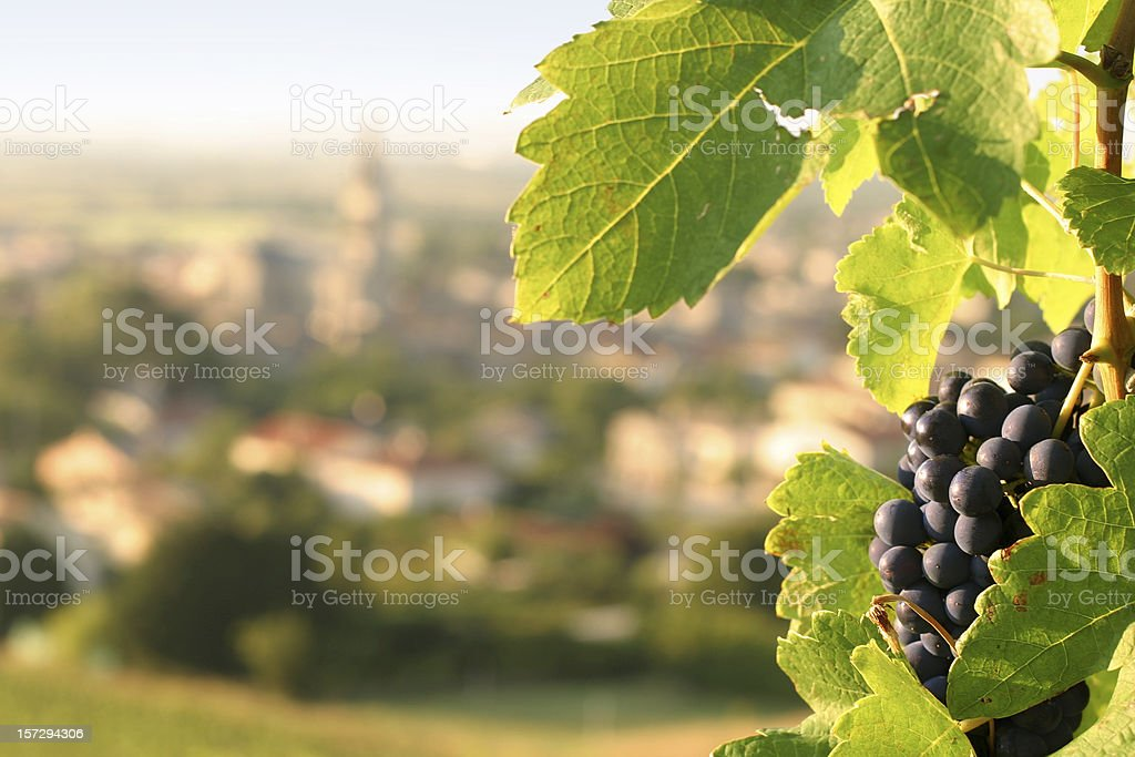 Wine Grapes on Grapevine Overlooking Village in France stock photo