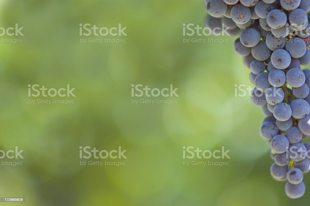Wine Grapes on the Vine royalty-free stock photo