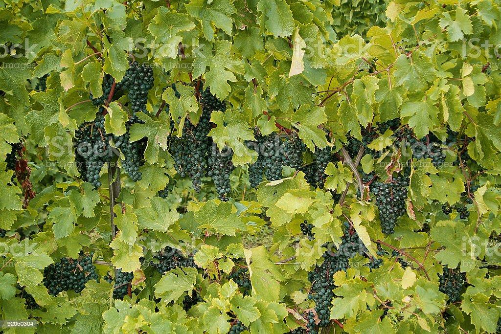 Wine Grapes on the Vine stock photo