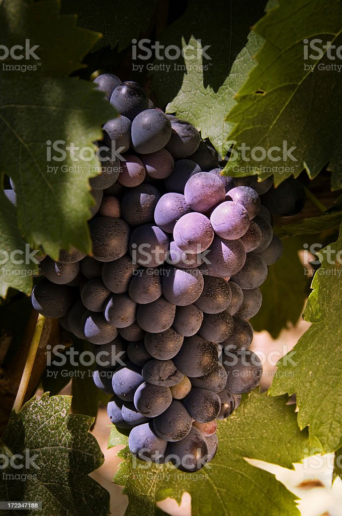 Wine grapes royalty-free stock photo