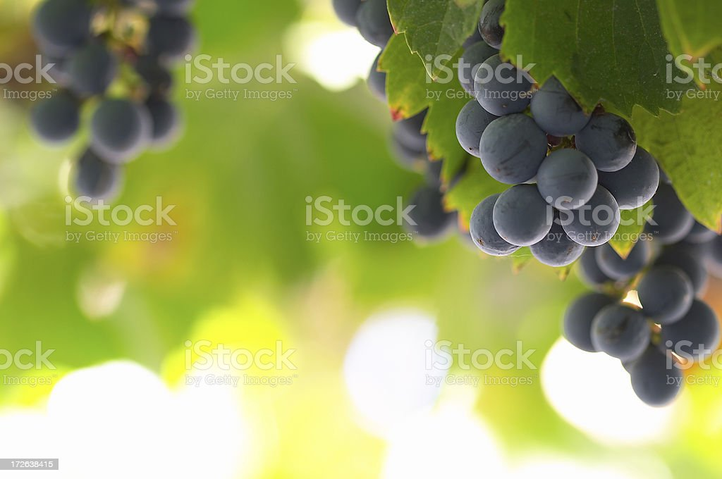 Wine Grapes | Vine Fruit stock photo