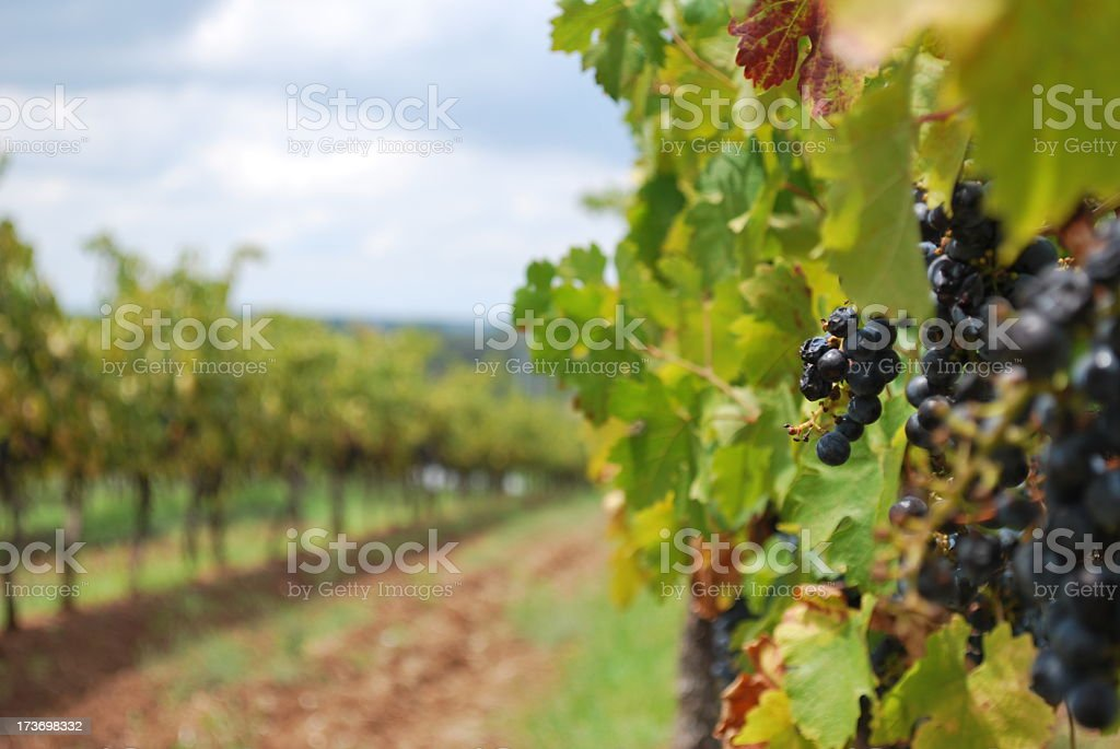 Wine grapes vineyard on a cloudy day stock photo