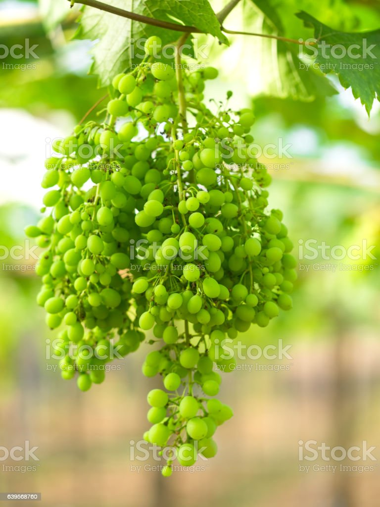 Wine green grapes in vineyard on a sunny day stock photo