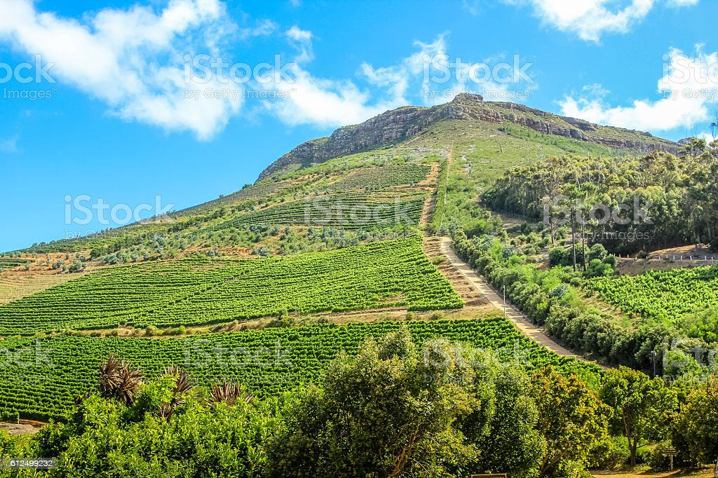 Wine growing on the hill stock photo