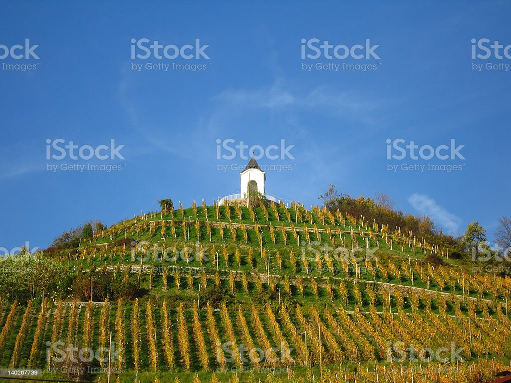 Wine growing royalty-free stock photo