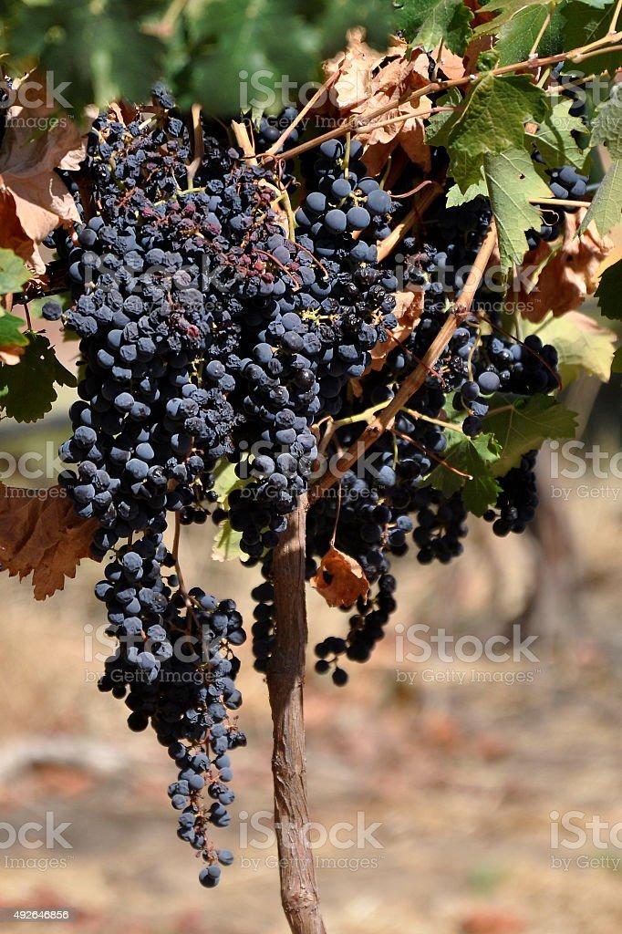 Wine Harvest, Autumn in Western Australia stock photo