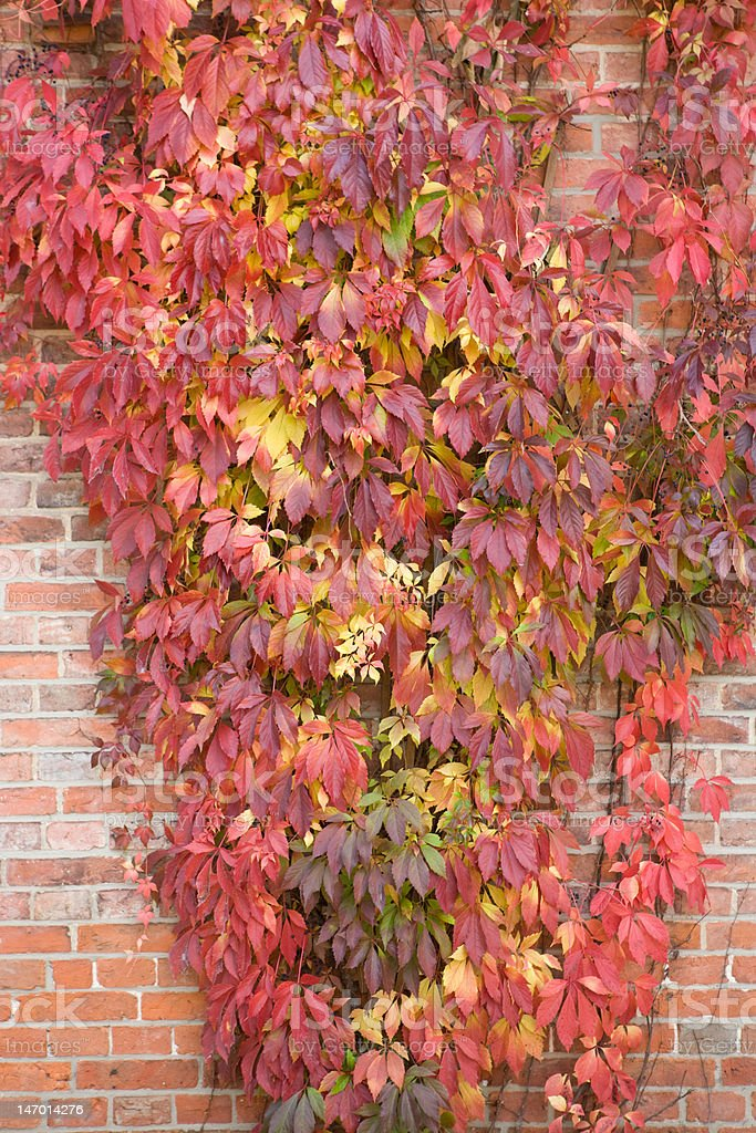 wine leafs in fall colors royalty-free stock photo