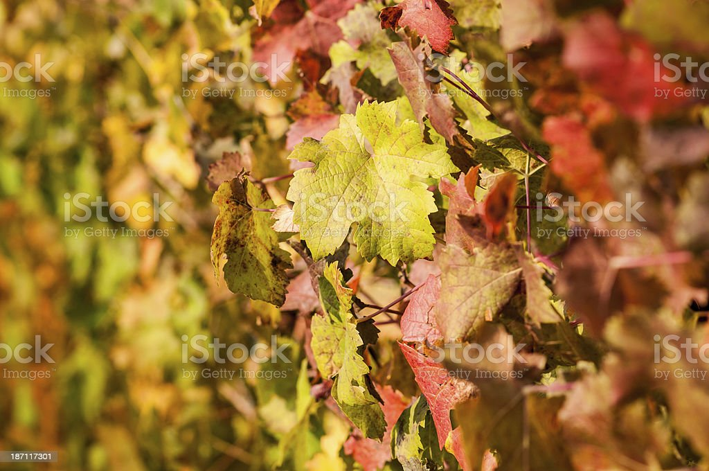 Wine leaves in autumn - Stock Image royalty-free stock photo