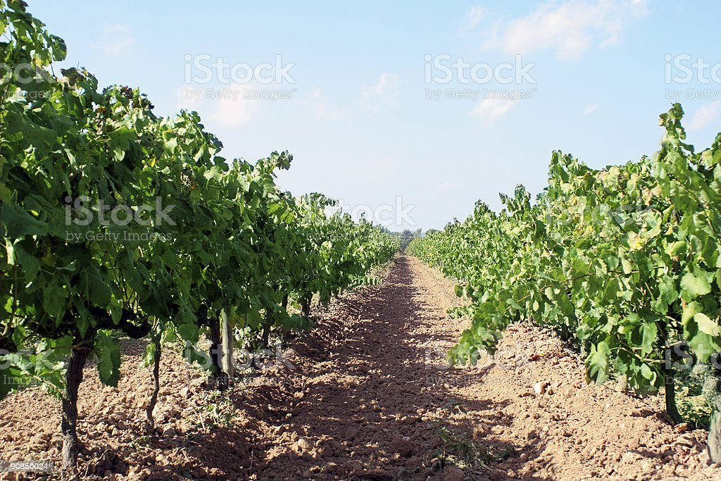 wine plants royalty-free stock photo