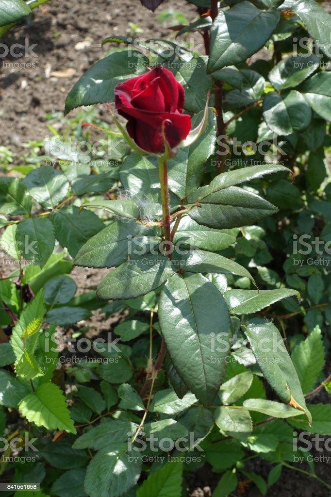 Wine red flower of common garden rose stock photo