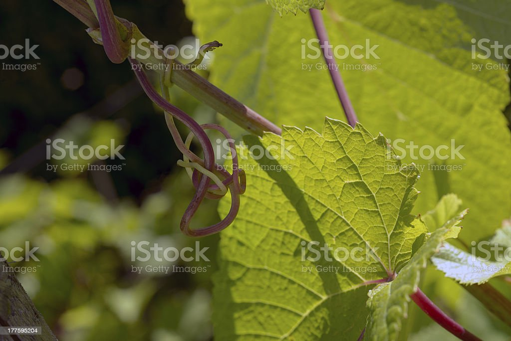 Wine stick to old part of plant royalty-free stock photo