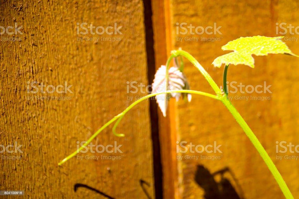 Wine Vine stock photo