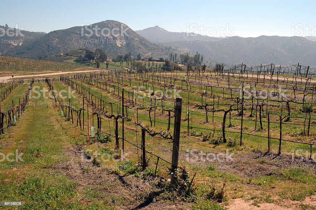 Wine Vineyard 3 stock photo