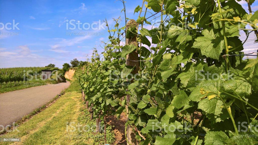 wine; Vineyard at Kaiserstuhl / Rhine rift valley (Vitis vinifera) stock photo