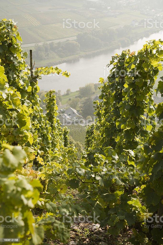 Wine yard at Moselle valley stock photo