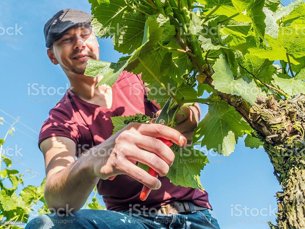 Winegrower stock photo
