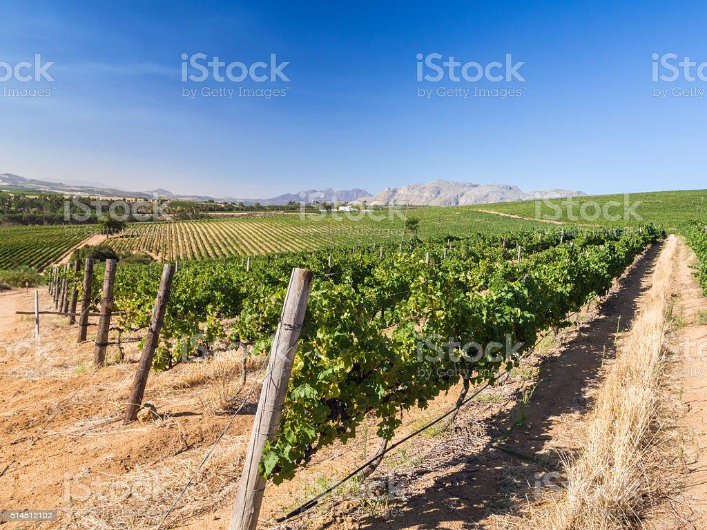 Winelands stock photo