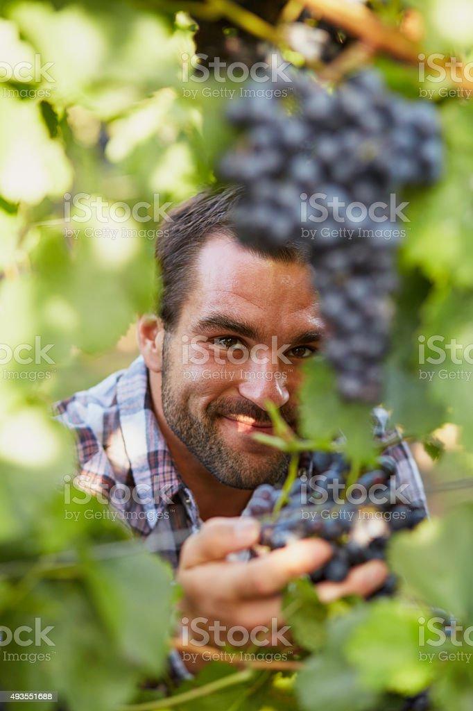Winemaker at picking blue grapes stock photo