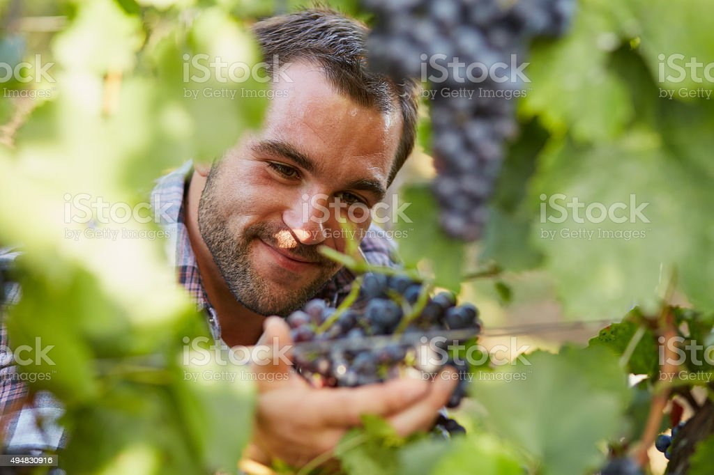 Winemaker at picking blue grapes stock photo