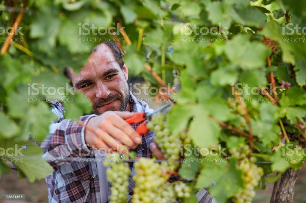 Winemaker harvesting grapes stock photo