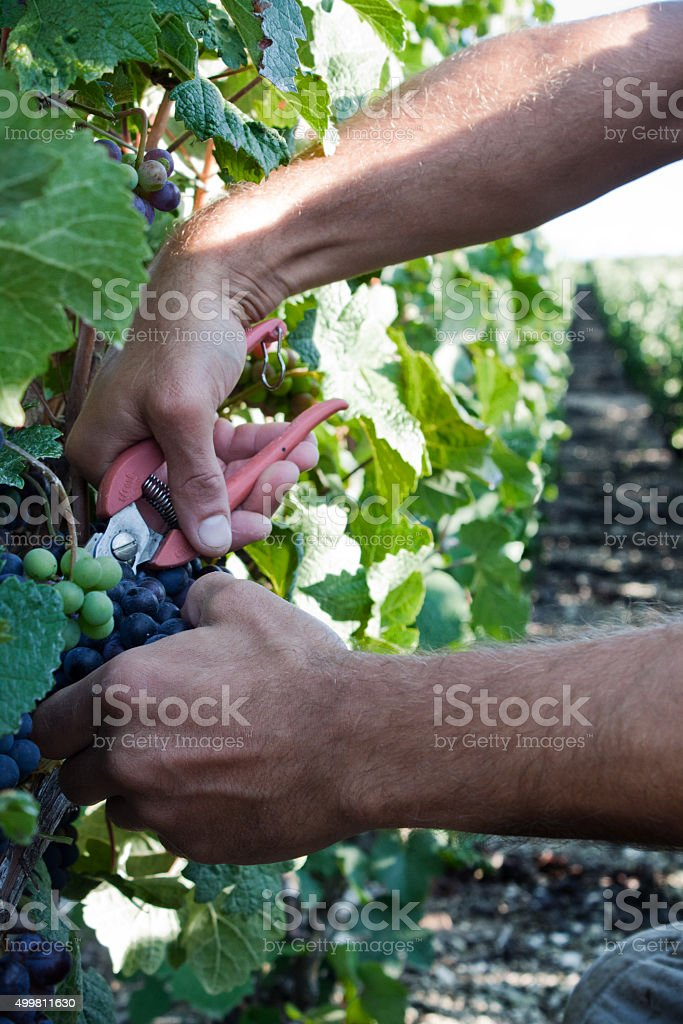 Winemaker man picking grapes at harvest time in the sunshine stock photo