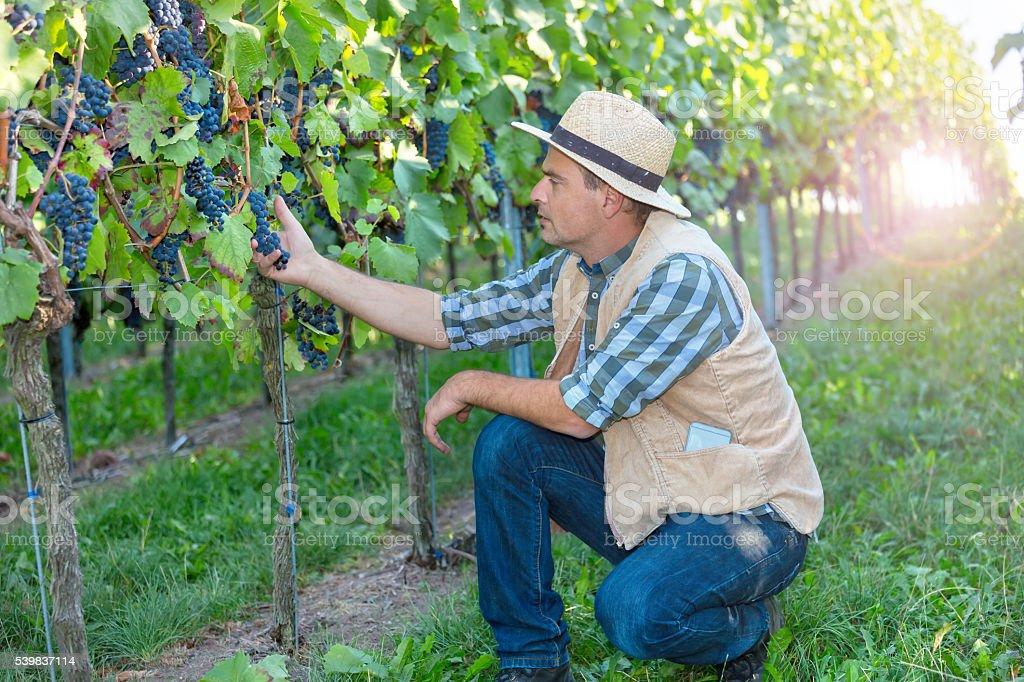Winemaker working in the vineyard stock photo