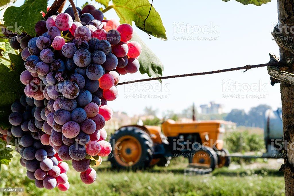 Winemaking stock photo