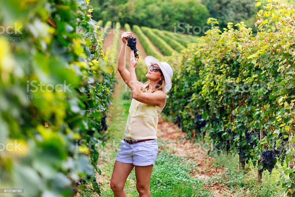 Winemaking with organic red grapes stock photo