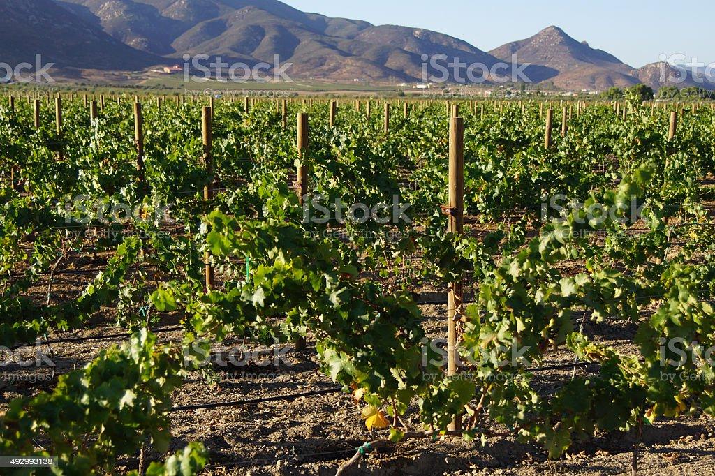 Winery vineyards at Ensenada, Mexico stock photo