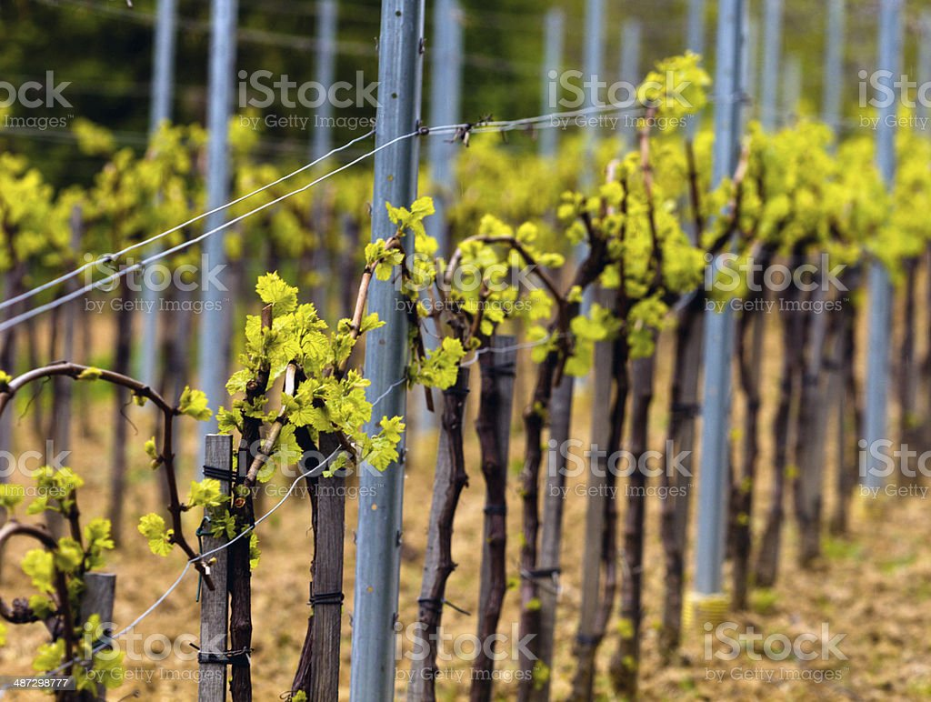 Wineyard in the spring stock photo