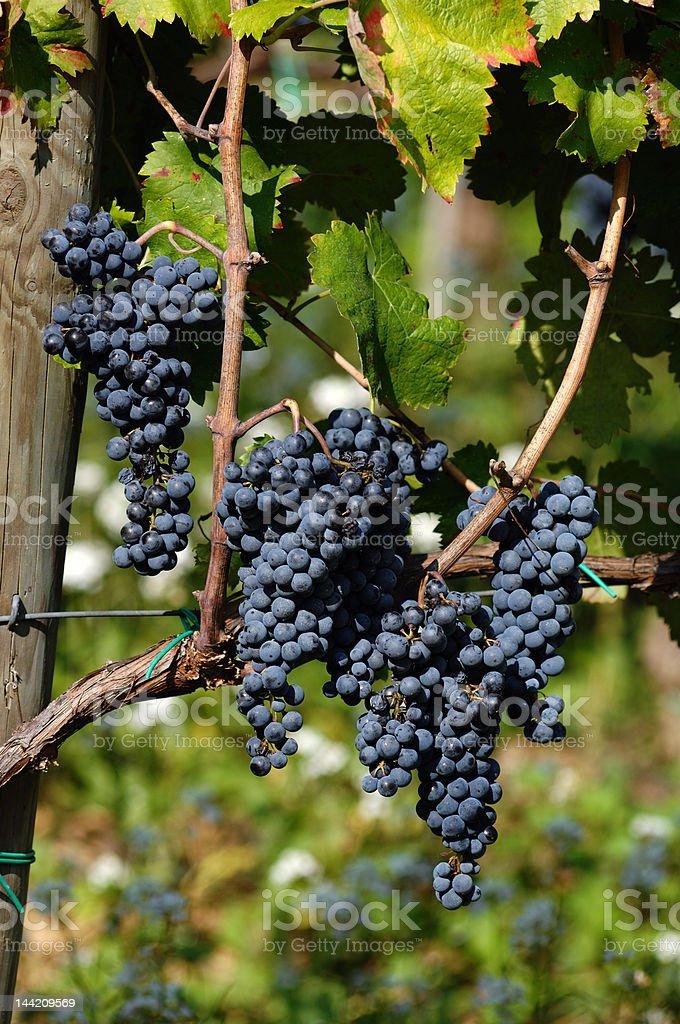 wineyard landscape royalty-free stock photo