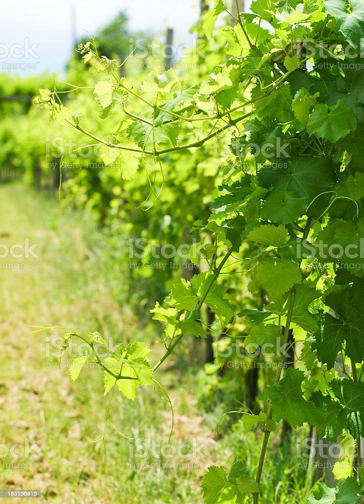 wineyard rows royalty-free stock photo