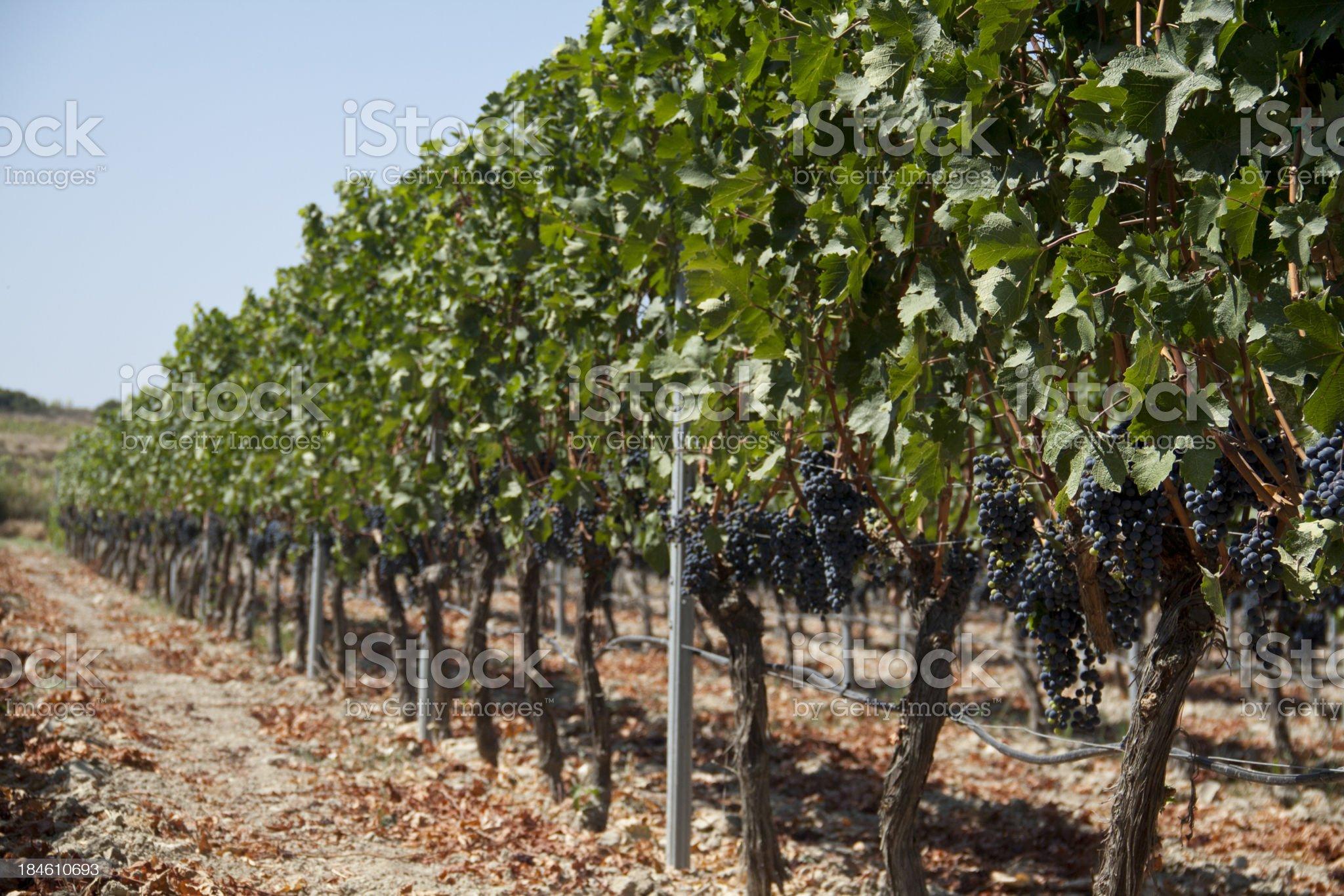 Wineyard view royalty-free stock photo