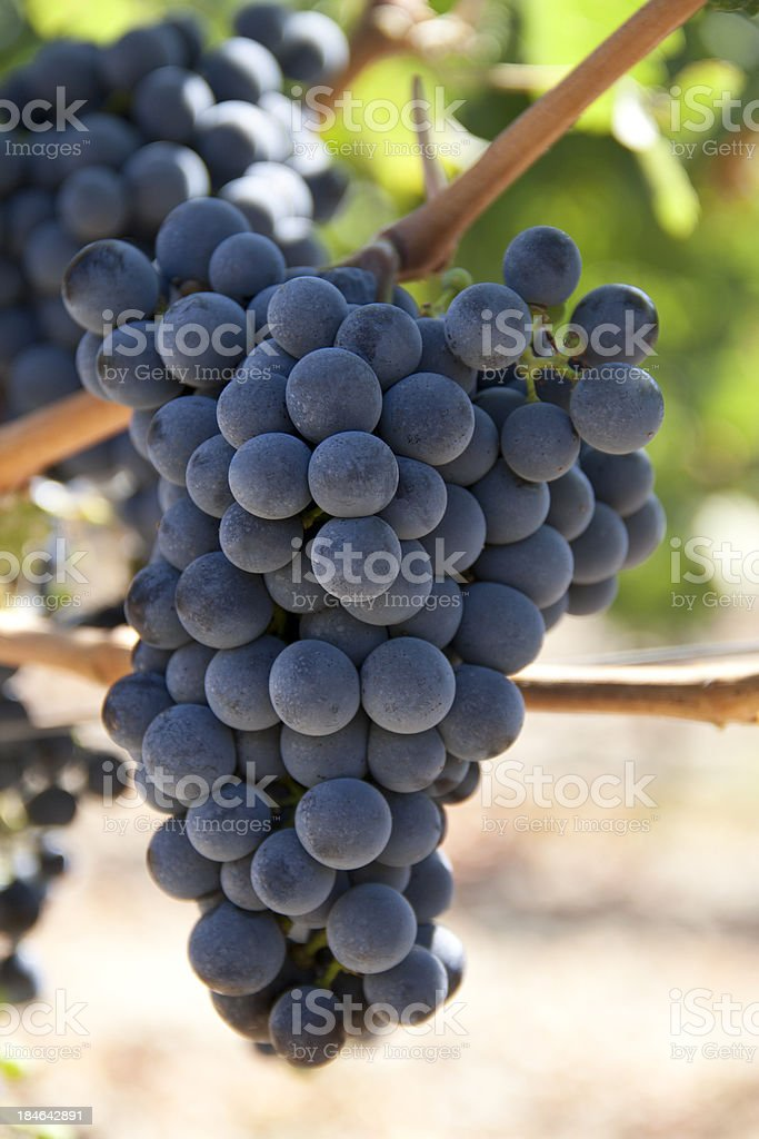 Wineyard view stock photo