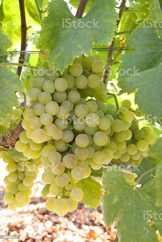 Wineyard view stock photo