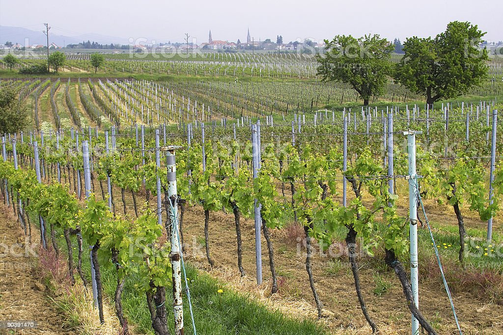 wineyards in spring royalty-free stock photo